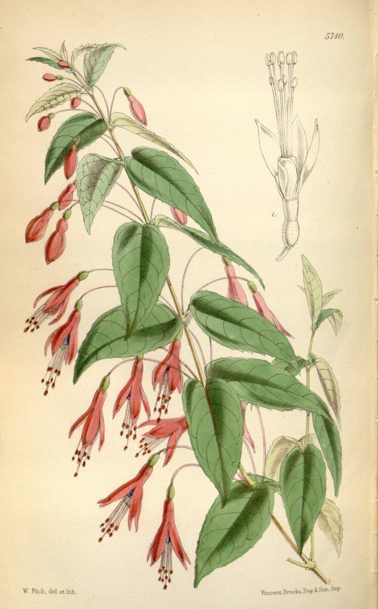 Fuchsie-Zeichnung2